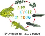 life cycle of frog | Shutterstock .eps vector #317950805