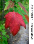 Small photo of Red Maple (Acer rubrum) Showing Fall Colors