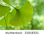 Ginkgo leaves with foliage in soft focus in background.  Close-up with extremely shallow dof. - stock photo