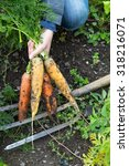 Small photo of Orange and yellow carrots and a fork on the ground at the allotment
