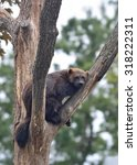 Small photo of Wolverine (Gulo gulo)