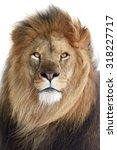 Lion  Panthera Leo  Closeup...