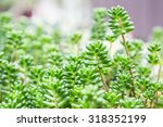 Sedum Pachyphyllum The...