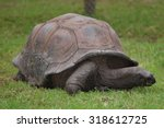 Small photo of An Aldabra Tortoise (Geochelone Gigantea)