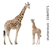 Stock photo giraffe mother and baby isolated on white background 31869371