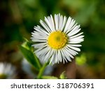 Small photo of The autumn field daisy fleabane (Stenactis annua) opens.