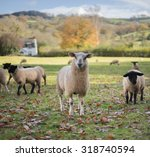 Sheep In Longtown ...