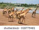 Giraffes Photographed In Safar...
