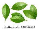 Lemon Leaf Isolated On White...