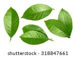lemon leaf isolated on white... | Shutterstock . vector #318847661