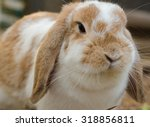 Close Up Of A Cute Holland Lop...