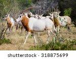 Wild Scimitar Horned Oryx Bull...