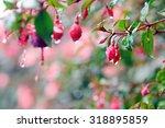 Fuchsia Flowers In Raining Day