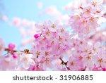 Cherry Blossoms At Inokashira...