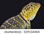 Yellow Headed Collared Lizard   ...