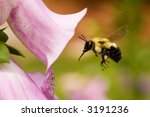 Bumble Bee And A Foxglove