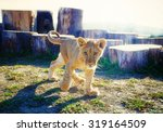 Little Lion Cub In Nature And...