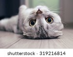 Scottish Fold Cat Lying On The...