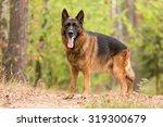 German Shepherd Standing And...