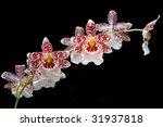 orchid vuylstekeara cambria ... | Shutterstock . vector #31937818