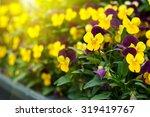 Flowering Purple Pansies In Th...