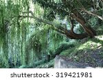 Weeping Willow Near A Source O...