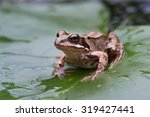 Common Frog On Large Green...