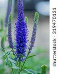 Small photo of Veronica spicata Christa