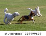 Dogs At Play   Basset Hound An...