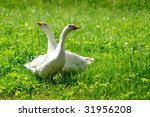 Two Geese Waking On A Grass
