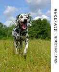 Dalmatian Dog Running On The...
