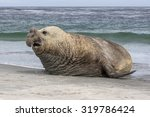 Southern Elephant Seal Bull  ...