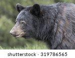 American Black Bear   Ursus...