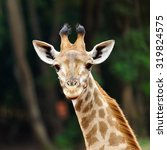Face Of Giraffe.