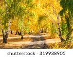 Yellow Birch Trees In Autumn...