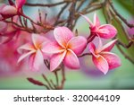 Pink Color Frangipani Flower...
