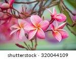 Pink Color Frangipani Flower...