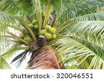 coconut cluster on coconut tree | Shutterstock . vector #320046551