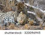 A Female Leopard Takes A Nap...