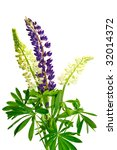 Flowers Lupine Isolated On...