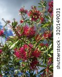 Small photo of Italy, Feijoa plant flowers in a garden (Acca sellowiana Sp.)