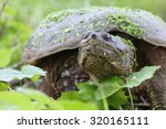 Snapping Turtle With Green...