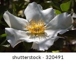 A Gorgeous Natural Rose  The...