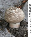 Small photo of Flat Topped Agaricus - Agaricus moelleri