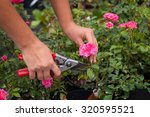 Hand Shears Prune Roses ...