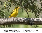 Small photo of African golden oriole (Oriolus auratus) perched on a branch