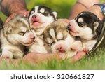 four puppies siberian husky.... | Shutterstock . vector #320661827