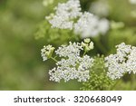 Wild Carrot Flowers  Daucus...