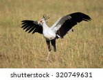Beautiful Secretary Bird With...