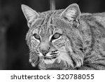 Bobcat Lynx Rufus Black And...